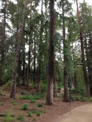 Redwood Grove in the UC Davis Arboretum